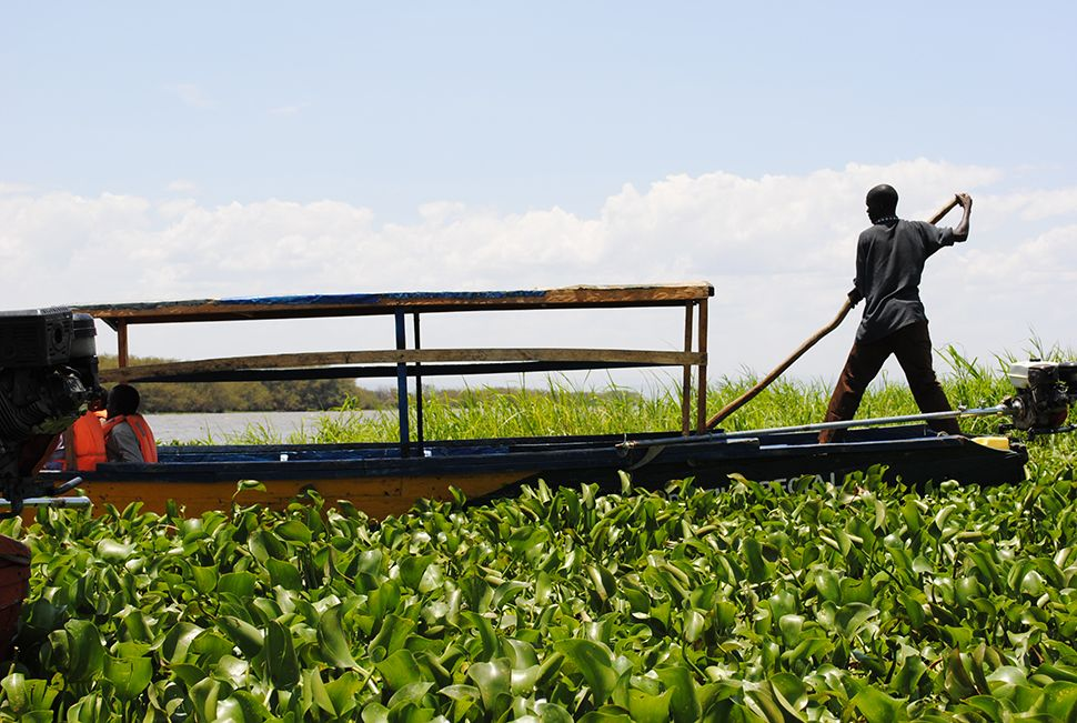 Water hyacinth invasion in Lake Victoria